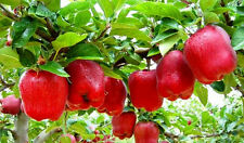 Imported Apple Bonsai Tree Seeds/ Fruit Seeds 5 Pcs/bag  + Other Seeds Gift