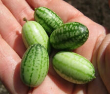 Heirloom 12 Rare Seeds Melothria scabra Mouse Melon Mexican Sour Gherkin Fruit