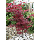 Large 2L Pot Acer Palmatum Atropurpureum Japanese Maple Tree Plants