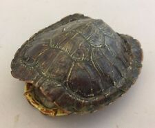 Real Turtle Shell - Red Eared Slider 2 - 3 inch