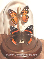 American Vanessa Butterfly Dome