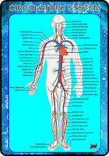 Circulatory System of Human Body (Anatomy Medical A4 Poster) BEST