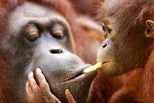 Ansichtskarte: Affenliebe - Orang Utan Mutter füttert ihr Kind
