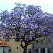 50Pcs Worlds Fastest Growing Tree Princess Paulownia Tomentosa Seeds Home Garden
