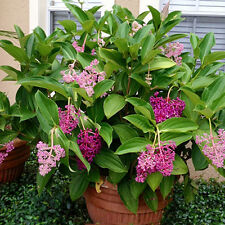 Medinilla myriantha Malaysian Orchid Live Flowering Plant  Malaysian Grapes