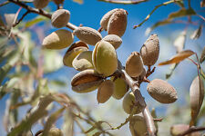 5 FRESH Bitter Almond Prunus Dulcis Seeds Organic - Ideal rootstock for grafting