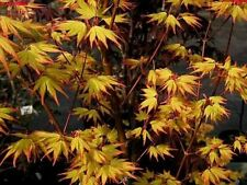 ORANGE DREAM JAPANESE MAPLE ** SEEDLING * 6-10* INCH PLANTS TREES BONSAI SALE
