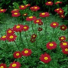 Chrysanthemum- (Chrysanthemum Coccineum)- Robinson's Red- 100 Seeds