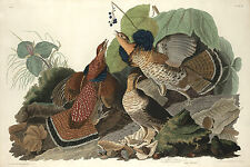 Audubon Reproductions: Birds of America - Ruffled Grouse - Fine Art Print