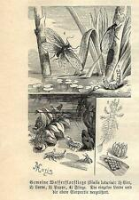 Stampa antica INSETTI Sialis lutaria INSECTA 1891 Old antique print