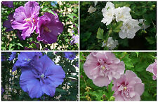 Rose of Sharon, Hibiscus Syriacus, mélange de couleurs, 15 graines seeds