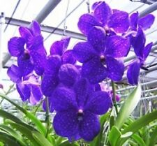 "VANDA PACHARA DELIGHT 'PACHARA' FCC/JOGA, ORCHID PLANT SHIPPED IN 3"" POT"