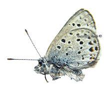 Unmounted Butterfly/Lycaenidae - Plebejus (Aricia) saepiolus gertschi, male, USA