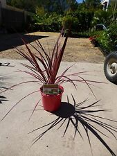 Plants Cordyline Electric Pink  200mm pots  $20-ea  aprox 60cm hgt and wdth  GR8