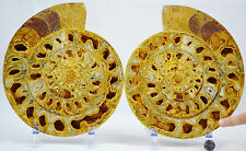 "RARE Perisphinctes Fossil Ammonite D Shaped Crystal LARGE 8.2"" 110myo e2909x"
