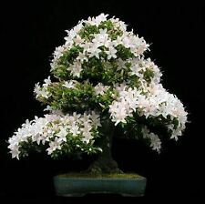 Bonsai Seeds -Common Gardenia Seeds - Cape Jasmine Flower Seed