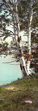 ANTIQUE Circa Early 1900's Hand Colored Photo BIRCH TREES BY LAKE, Nutting Style