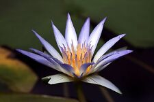 SACRED BLUE LOTUS * Nymphaea Caerulea * WATER LILY * AQUATIC PLANT SEEDS