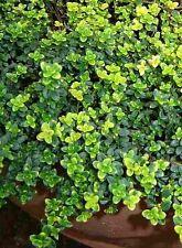 """Gold Lemon Thyme Plant - Lemon Scent & Bright Golden-Edged Leaves - 3"""" Pot"""