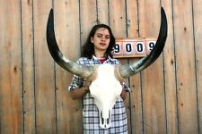 "STEER SKULL LONG HORNS MOUNTED 2' 6"" COW BULL TAXIDERMY LONGHORN H9009"