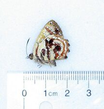 INDONESIAN HYPOCHRYSOPS LYCAENIDAE UNMOUNTED BUTTERFLY H2