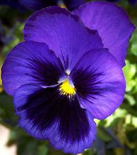 40 graines  Pensée Géante Bleue(Viola wittrockiana)X05 BLUE PANSY SEEDS SAMEN