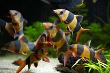 "x8 CLOWN LOACH SMALL 1"" - 1 1/2"" -  FISH FRESHWATER - FREE SHIPPING"