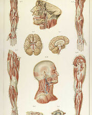 Vintage Medical Anatomy Chart Nervous System Illustration Canvas Art Print