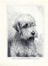 DANDIE DINMONT TERRIER HEAD STUDY LOVELY OLD ORIGINAL DOG PRINT PAGE FROM 1934