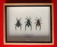 3 FROG LEGGED LEAF BEETLES SAGRA RED BLUE TAXIDERMY BEETLE INSECT ENTOMOLOGY