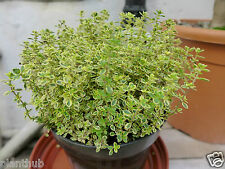 Herb Seed GARDEN THYME - French English Winter Herb Seed - Pack of 50 Seeds