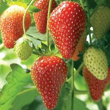STRAWBERRY SEEDS (Fragaria ananassa) bright red fruit has great flavor 100 seeds