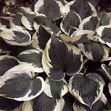 HOSTA PLANT MINUTEMAN  BUY ANY5 GET 1 FREE MY CHOICE