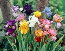 LOT 10 FRESH SPROUTED MIXED BEARDED IRIS RHIZOME BULBS