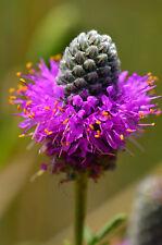 Violetter Prärie Klee 50 Samen Prärieklee Dalea Purpurea Pink