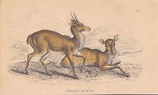 Rotspießhirsch Cariacus rufus altkolorierter STAHLSTICH v. 1837 Hirsche Cervidae