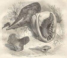 A5455 Tipi di conchiglie - Xilografia - Stampa Antica del 1850 - Engraving