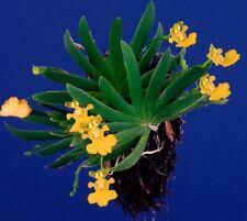 Oncidium Pusillium Mini Orchid In Spike