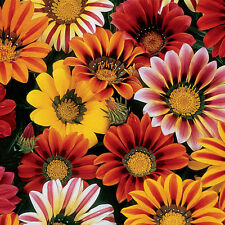 Gazania Sunshine Mix Seed Low Growing Groundcover Bright Colours