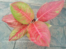 """New Aglaonema """"Fortune doubly"""" Perfect Form&Color Big circle Leaf Free Phyto@@"""