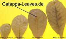 100 Gramm XXL Seemandelbaumblätter ca.30 cm - Catappa-Leaves - Sonderaktion
