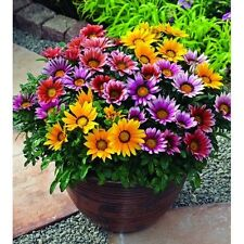 30+ GAZANIA FROSTY KISS  MIX FLOWER SEEDS / DROUGHT-TOLERANT RESEEDING ANNUAL