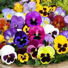 Flower Seed - HYBRID PANSY MIXED - Swiss Giant Mix Multicolor - Pack of 50 Seeds