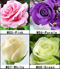 4 Colors 80 Rose Seeds Pink Purple White Green Rose Seeds For Your Lover