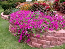 Semi-Trailing Petunia Flower seed 50 seeds garden yard patio plants
