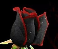 USA-Seller Beautiful  Black Rose Flower with Red Edge Seedling Seed 100 SEEDS
