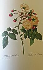 Pierre-Joseph Redoute ADELAIDE OF  ORLEANS ROSE Botanical Print 13x10