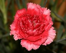 NEW! 30+ ROSE/RED  CARNATION FLOWER SEEDS / PERENNIAL