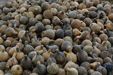 2016 TENNESSEE SPINNER GOURDS  dried & uncleaned, free shipping  100pcs.