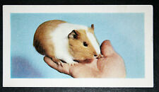 GUINEA PIG      Vintage Colour Photo Card # VGC